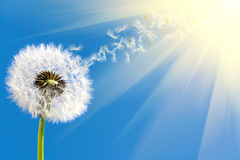 Dandelion in sunlight Stock Photo
