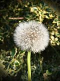 A dandelion on a sunny day. A dandelion in a garden on a sunny day Royalty Free Stock Images