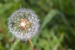 Dandelion on a sunny day. Royalty Free Stock Photo