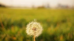 Dandelion in sunny field Royalty Free Stock Photo