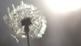 Dandelion on Sunny Meadow. Flying dandelion seeds against the bright sun. Slow Motion at a rate of 240 fps stock video footage