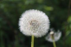 Dandelion on sunny spring day. Stock Photos