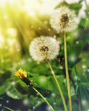 Dandelion at sunrise in the morning. stock images