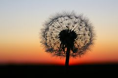 Dandelion on the sunset. Lonely dandelion see off sunset Stock Image