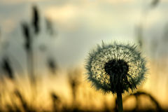 Dandelion on a sunset Royalty Free Stock Photography