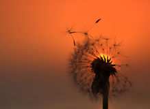 Dandelion at sunset. Close up of dandelion with sunset in the background royalty free stock photos