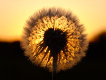 Dandelion and the sunset Royalty Free Stock Image