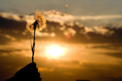 Dandelion at sunset. Man holding a dandelion at sunset Royalty Free Stock Photo
