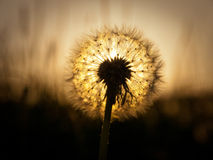 Dandelion at sunset. Dandelion flower against a sunset Royalty Free Stock Photos