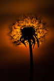 Dandelion Sunset. Dandelion and sunset on the background stock images