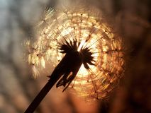 Dandelion. Sunset can be seen through dandelion Stock Photography