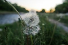 Dandelion in the sunset stock photography