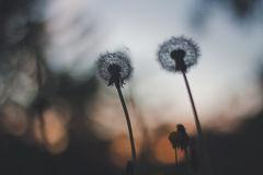 Dandelion sunset Stock Images