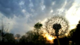 Dandelion in sunset Stock Image