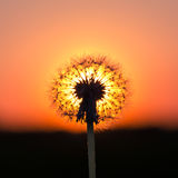 Dandelion at sunset Stock Photos