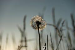 Dandelion in sunset Royalty Free Stock Image
