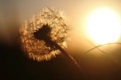 Dandelion sunset Stock Photography