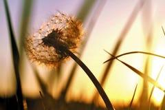 Dandelion sunset Royalty Free Stock Photography