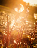 Dandelion at sunset Royalty Free Stock Photo