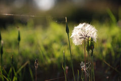 Dandelion on the sunset. Dandelion and green grass on the sunset Stock Image