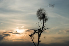 Dandelion in the sunset Royalty Free Stock Photos
