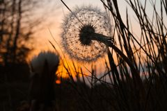 macro flower -  Dandelion seed's at sunset Royalty Free Stock Photography