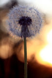 Dandelion sunset macro closeup summer Royalty Free Stock Photo