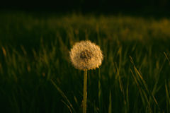 Dandelion in Sunset Stock Photo