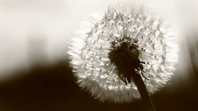 Dandelion in the sunset movie. Black and white dandelion video stock video footage