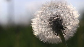 Dandelion in the sunset movie stock footage