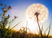 Dandelion in the sunset. Romantic horizontal composition Stock Photography
