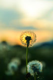 Dandelion at sunset stock photography