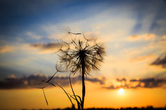 Dandelion and sunset sky Royalty Free Stock Image