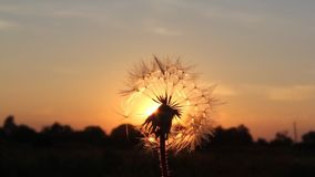 Dandelion at sunset stock footage