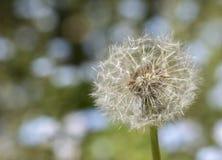 Dandelion. A dandelion in the sunshine Stock Images