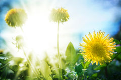 Dandelion in sunshine Stock Image