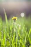 Dandelion. In sunshine in summer Stock Image