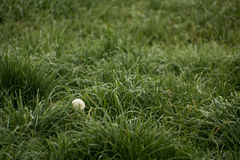 A dandelion surrounded by grass in fall. A dandelion growing in a field of grass Stock Photo