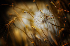 Dandelion. A dandelion surrounded by weeds Royalty Free Stock Image