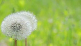 Dandelion sways in the wind. Fresh nature scene of beautiful wild flower. 1 stock footage