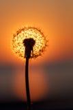 Dandelion sylwetka Obrazy Royalty Free