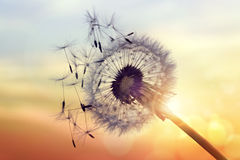 Dandelion sylwetka przeciw zmierzchowi Zdjęcia Stock