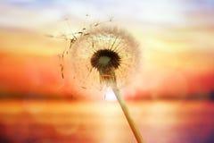 Dandelion sylwetka przeciw zmierzchowi nad morzem obraz stock