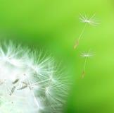 dandelion szczegół obraz stock