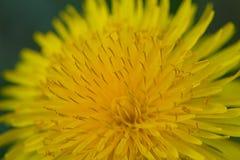 Dandelion sztuka Zdjęcie Stock