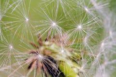 Dandelion tło Zdjęcia Stock
