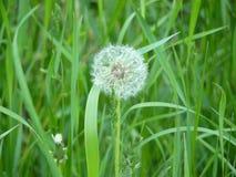 Dandelion in tall grass. Dandelion in a meadow, in a tall grass. End of May, dandelion fades Stock Photo