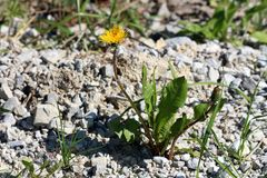 Dandelion or Taraxacum closed and open blooming yellow flower surrounded with dark green leaves growing near local road surrounded. With gravel and grass on stock photos
