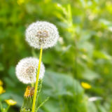 Dandelion. (Taraxacum) on a field close-up Stock Photo