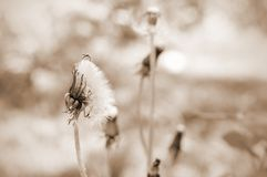 Dandelion (Taraxacum) on field. Dandelion (Taraxacum) on a field close-up. Sepia photo Royalty Free Stock Photo